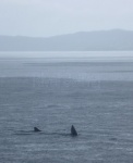 Basking shark near Mallaig