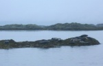 Seals basking near Arisaig