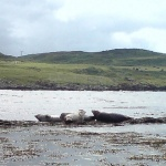 Seals at Rathlin Island