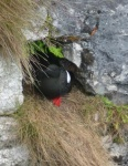 Black guillemot nesting in Glenarm